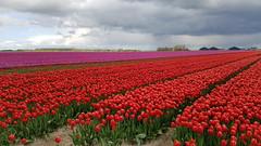 Tulips - mobile picture (NLHank) Tags: flowers holland netherlands tulips nederland samsung galaxy edge bloemen bollen tulpen s7 bollenvelden nlhank