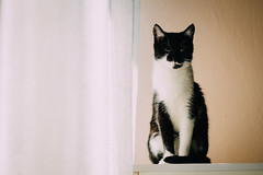 Portrait of a Cat (freyavev) Tags: animal cat 50mm kitty indoor katze elegant elegance blackandwhitecat macka vsco