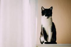 Portrait of a Cat (freyavev) Tags: animal cat 50mm kitty indoor katze elegant elegance blackandwhitecat macka vsco