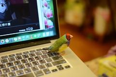 DSC_3651 (Jenny Yang) Tags: pet bird lady finch gouldian 小呆 胡錦鳥 小蕃茄