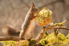 basket of plenty (Geert Weggen) Tags: light red summer  food plant flower cute nature animal closeup fruit mammal happy rodent moss spring squirrel funny branch basket bright seed ground grape geert perennial weggen ilobsterit hardeko