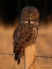 The last rays of sun  4879 (Bonnieg2010) Tags: wild nature alberta owl greatgrayowl avian goldenhour birdofprey greatgray northwestofcalgary bonniegrzesiak