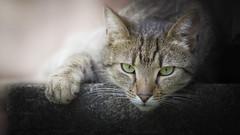 Mek (Katarina Drezga) Tags: cats pets animals cat feline felines domesticcat petphotography nikond3100 nikkor55300mm4556gvr