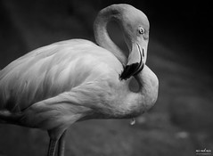 Feathered (The Mr and The Mrs) Tags: blackandwhite animals zoo nikon texas wildlife flamingo labs impressions fortworth topaz fortworthzoo wildwednesday kristicreed wwwthemrandthemrscom