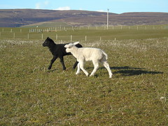 Lambs (stuartcroy) Tags: green grass animals island orkney sheep farming lamb lambs