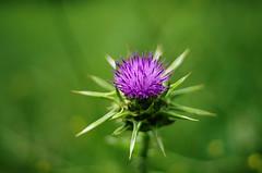 flower (SS) Tags: italy green spring purple pentax bokeh lazio k5 2015 smcpentaxm50mmf17 ss