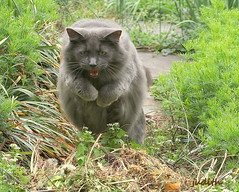 the pounce (judecat (getting back to nature)) Tags: jump feline pounce leap vinny catingarden longhairedgreycat