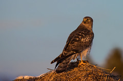 One Last Look (Happy Photographer) Tags: sunset mouse colorado hawk raptor warmlight northernharrier amyhudechek