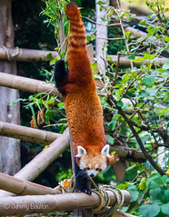 Downturn (JKmedia) Tags: animal zoo tail down bamboo redpanda climber upside captivity stripy 2015 blackpoolzoo ailurusfulgensfulgens boultonphotography