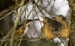 Eastern Spinebill family (aussiegall) Tags: bird australian feathers chicks australiannative easternspinebill