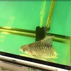 """อึ้ง!! """"เจ้าบุญครึ่ง"""" ปลาครึ่งท่อนยังวายน้ำได้ (คลิป) ปลามีครึ่งตัวมีชีวิตอยู่รอดมาได้กว่าครึ่งปีแล้ว โดยเจ้าของร้านขายปลาสวยงามในตลาด ฟิชวิลเลจ อ.บ้านโป่ง จ.ราชบุรี เลี้ยงไว้ ตั้งชื่อให้ """"เจ้าบุญครึ่ง """" http://nuclear.rmutphysics.com/blog-sci5/?p=6689"""