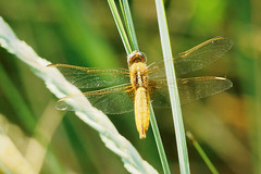 broad scarlet female 2 (Bill Kirby1) Tags: france dragonfly languedoc 2015