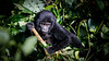 Bikingi baby gorilla (Lil [Kristen Elsby]) Tags: africa travel topf25 nationalpark gorilla wildlife topv1111 uganda primate gorillas babygorilla travelphotography mountaingorilla canon7020028l bwindiimpenetrablenationalpark canon5dmarkii bikingi bikingigroup bikingifamily