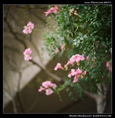 1512-017-Portra160-Minoltacord (YKevin1979) Tags: flower tlr film floral hongkong flora minolta kodak vegetation   portra  chiyoko twinlensreflex 160 f35 promar 75mm kwuntong minoltacord