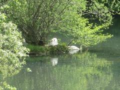 Enzauen bei Pforzheim-Eutingen (thobern1) Tags: river germany swans fluss pforzheim schwne badenwrttemberg enz enzkreis eutingen enzauen