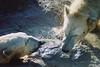 Untitled-31 (ucumari photography) Tags: 2003 bear animal mammal zoo oso nc december north polarbear carolina willie willy masha eisbär wilhelm ursusmaritimus シロクマ oursblanc osopolar 北极熊 ourspolaire orsopolare jääkarhu 북극곰 ucumariphotography ísbjörn niedźwiedźpolarny полярныймедведь الدبالقطبي