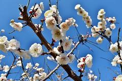 Plum Flower - February Bloom (namhdyk) Tags: flower spring nikon bloom february plumblossom  plumflower  d5500 nikond5500