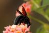 Macrofotografia e close-up (tacio) Tags: closeup abelha macrophotography hymenoptera macrofotografia mamangava microfotografia taciophilip wwwmacrofotografiacombr wwwtaciocombr