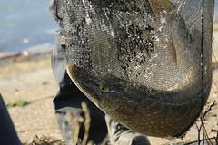 PIKE IN A NET (pearl.winch) Tags: pike 8451 sooc fishingmatch 11thfebruary2016 17lbpike abbertonvervoir