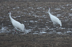 IMG_0340-1 Whooping Cranes #29-09 F and #13-03 (John Pohl2011) Tags: bird canon john waterfowl wading pohl sx50hs canonsx50hs