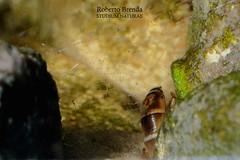 Hydropsychidae larvae (Roberto PE) Tags: trichoptera hydropsychidae