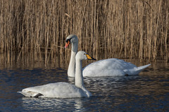 Swan crossing (RonW's Nature Photography) Tags: bird netherlands canon swan europe wilde birding nederland birdwatching vogel mite zwaan whooper cygnus knobbelzwaan olor