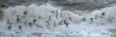 Ringed Plovers dodging the waves (Richard W2008) Tags: storm weather scotland waves wind gertrude troon ringedplover barassie charadriushiaticula