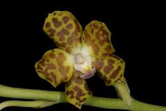 Phalaenopsis hygrochila (syn Hygrochilus parishii) 2016-02-08 01 (JVinOZ) Tags: orchid orchidspecies hygrochilus