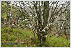 I Don't Know What Was Going On Here! (bokosphotos) Tags: trees woods cows panasonic christmasdecorations cutting trials aldershot hungryhill yearly trialsbikes pre65 motorcycletrials talmag panasonicgh3 dmcgh3 1235f28lens talmagtrial2016 hungryhillaldershot