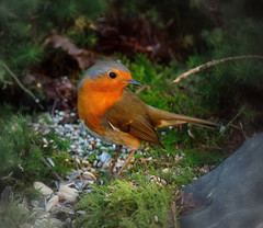 """ Beautiful Robin "" #roodborstje dreilnderwald# (Kalbonsai) Tags: bird robin germany nikon wald roodborstje westf d5100 naturphotography 55300mmm dreilnderwald"