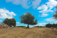 """Centro"" (Drakopoulos Dimitris) Tags: tree nature landscape greek centro olive center greece"