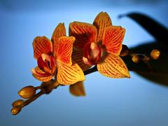 Orchidee (ingrid eulenfan) Tags: pflanze orchidee blte