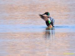 Cuchara comn              (Anas clypeata) (18) (eb3alfmiguel) Tags: aves cuchara comn acuaticas europeo antidas