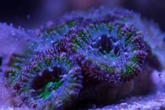 Feeding time for my Acans (Simon.Davison.Photography) Tags: macro coral canon aquarium tank 105 saltwater 6d 105mm saltwatertank sigma105 acan canon6d