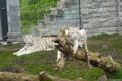 Tigres blancs (Johanna Viala) Tags: zoo tigreblanc pairidaiza zoodebelgique