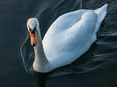 Proud Swan (@DinAFoto) Tags: white animal germany deutschland swan outdoor duisburg schwan tier weis