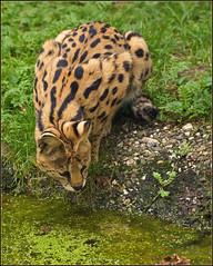 African Serval Cat (Foto Martien) Tags: cat germany zoo kat sony serval duitsland a77 mondo dierentuin leptailurusserval dierenpark 70300 subsaharanafrica zookrefeld felisserval kisongo tierboskat servalo mediumsizedafricanwildcat southofthesaharadesert martienuiterweerd fotomartien sonyslta77v sonyalpha77 geotaggedwithgps tamron70300mmf456sp gattopardoafricano