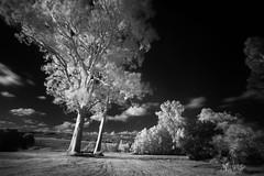 Infra Red Tree (Paul Hollins) Tags: tree monochrome australia newsouthwales woodville nikon1635mmf4 paulhollins nikond750