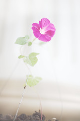 pink morning glory (Iin Wibisono) Tags: morning pink flower glory