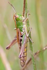 Meadow_Chorthippus-parallelus-female-1 (skully_bob) Tags: insect grasshopper orthoptera cambridgeshire invertebrate devilsdyke