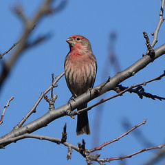 Natures Colors (rschnaible) Tags: life california blue winter red wild usa house west color male bird square us backyard colorful wildlife watch birding finch western format northern