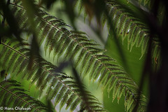 Mt. Kinabalu Park, Borneo (Hans Olofsson) Tags: borneo malaysia green grön ormbunke bräken inthejungle rainforest regnskog