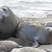 Jules and his frustrating Valentine's day. (nosha) Tags: california ca usa elephant beach sansimeon valentinesday elephantseal