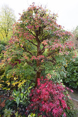 Acer griseum (Paper Bark Maple) in autumn (Four Seasons Garden) Tags: uk november autumn england colour leaves garden paper four japanese maple seasons award foliage national bark acer deciduous winning walsall paperbark 2015 acers griseum