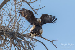Bald Eagles copulating sequence - 11 of 28