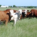 Cattle graze on lush spring forages  NRCS photo by Beverly Moseley