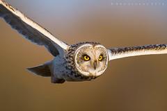On the Hunt (benstaceyphotography) Tags: aves shortearedowl owl bird predator hunt hunting fly flying flight eyes wild nature rspb asio flammeus nikon wildlife