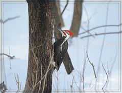 [[[ Pileated Woodpecker Placement - II. ]]] (Wolverine09J ~ 1 Million + Views) Tags: bird pileatedwoodpecker amazingnature amazingcapture naturesgallery thebeautyofnature astoundingimage feathersbeaks fantasticnaturegroup winterwoodpecker level1allnaturesparadise 1goldwildlife level1thewondersofnature level2thewondersofnature febwinternaturefotos woodpeckercameo woodpeckerperched