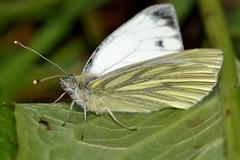 Pieris napi (Linnaeus, 1758) (Jess Tizn Taracido) Tags: lepidoptera pieridae pierinae papilionoidea pierisnapi pierini