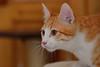Gato Jinks  (17) (adopcionesfelinasvalencia) Tags: gato jinks